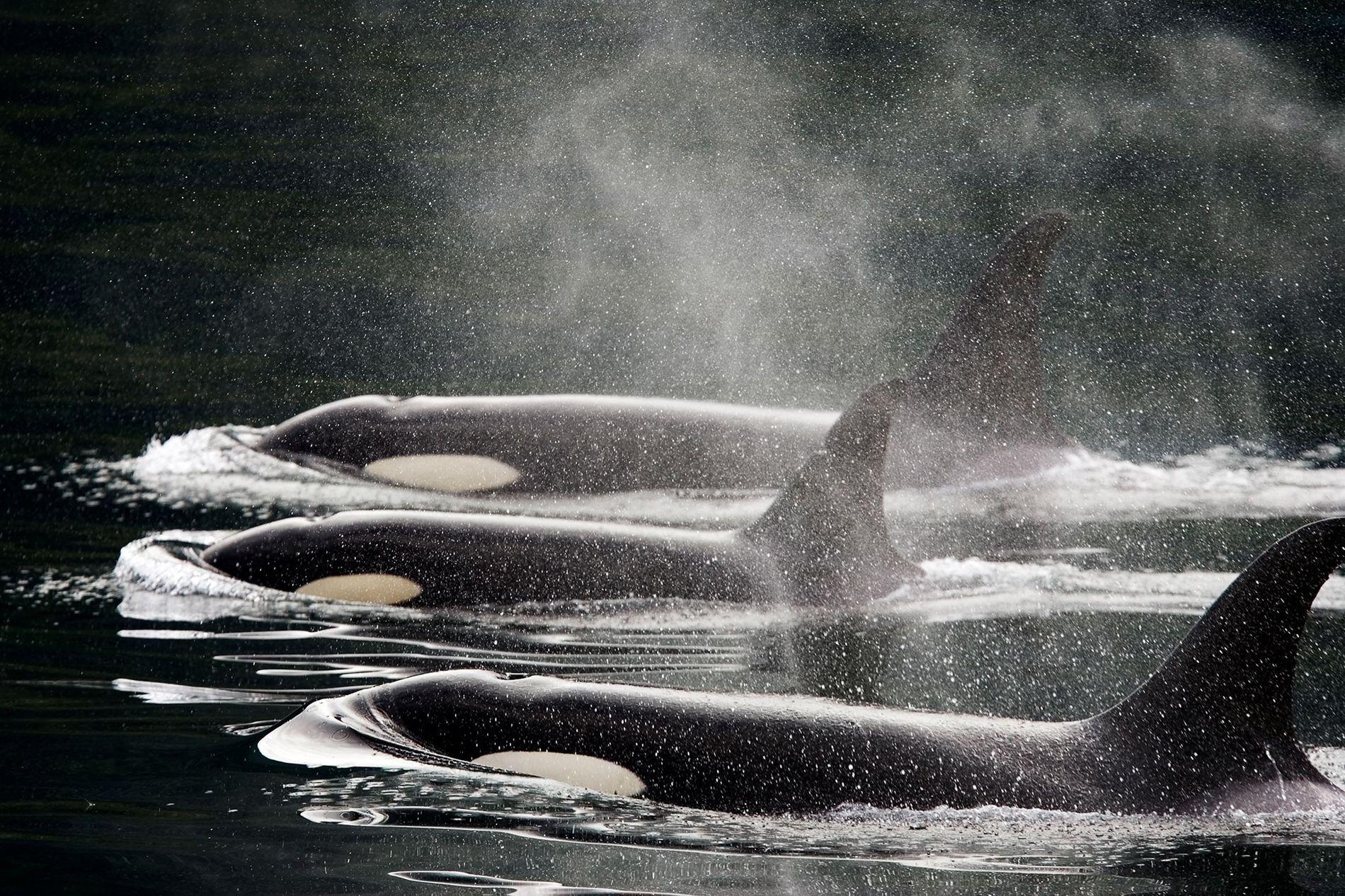 Tres orcas