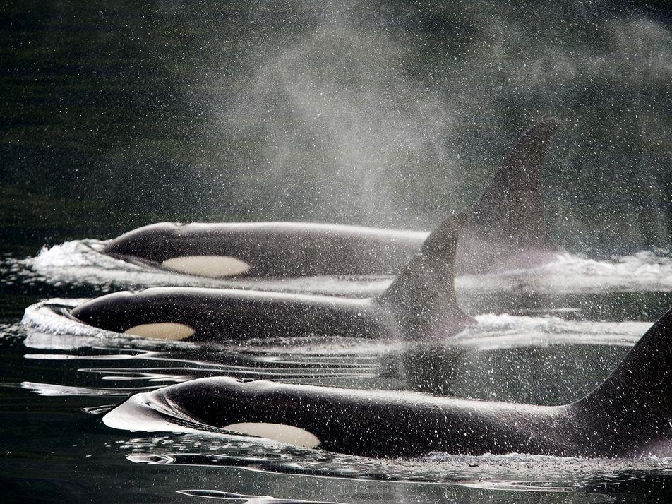 La historia de las orcas: de cazadas a adoradas y en peligro