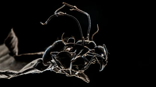 Esta hormiga está infectada con un hongo que la convierte en zombi, guiándola fuera de su ...