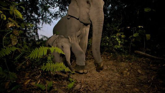 Las crías de elefante asiático son víctimas de las trampas de alambre en Camboya