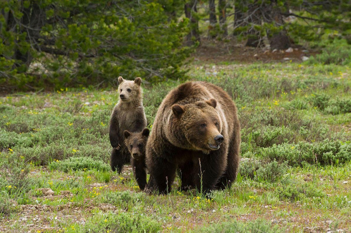 La osa grizzly 399 estudia un prado lleno de salvia en busca de posibles peligros para …