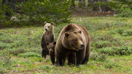 Por primera vez en décadas, se permitirá la caza de osos grizzly en Yellowstone