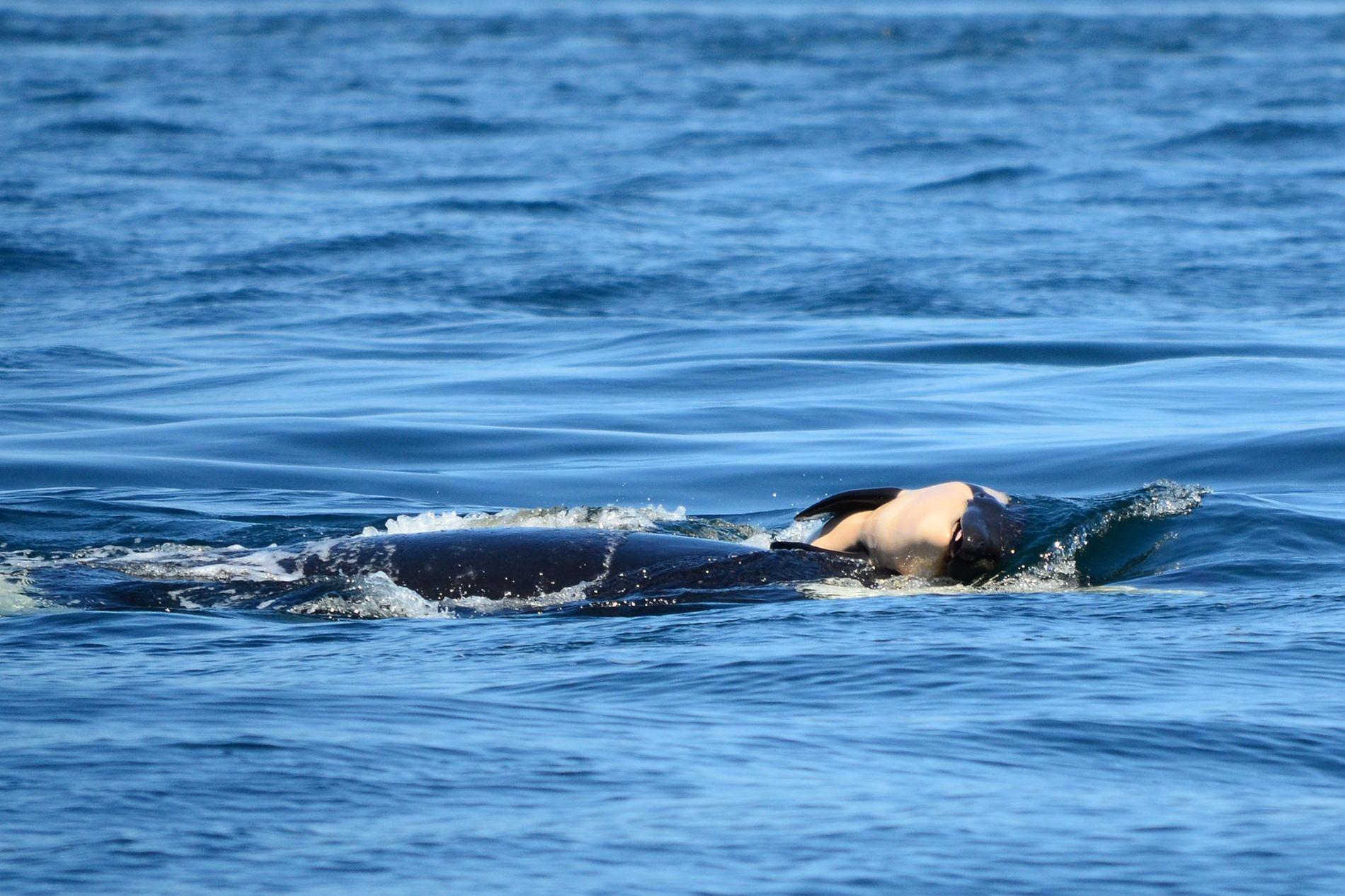 Orca J35