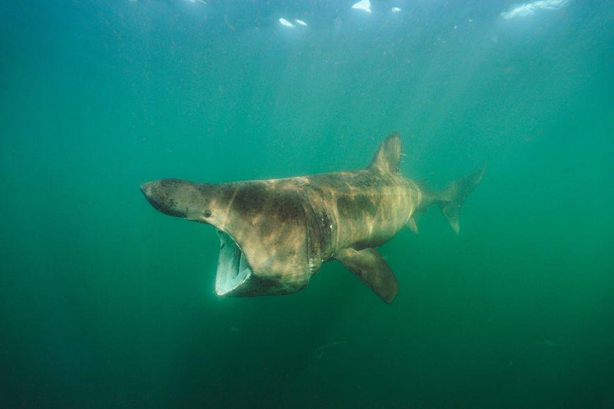 El tiburón peregrino se caza en gran parte de su área biogeográfica por su hígado rico ...