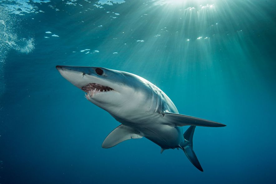 Un tiburón mako nada en las aguas turquesas de la costa de la Isla Norte de ...