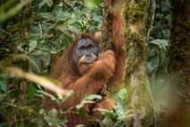 El orangután de Tapanuli