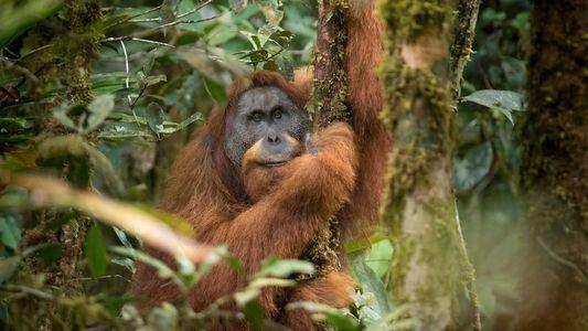 Esta presa hidroeléctrica amenaza con aniquilar al simio más raro del mundo