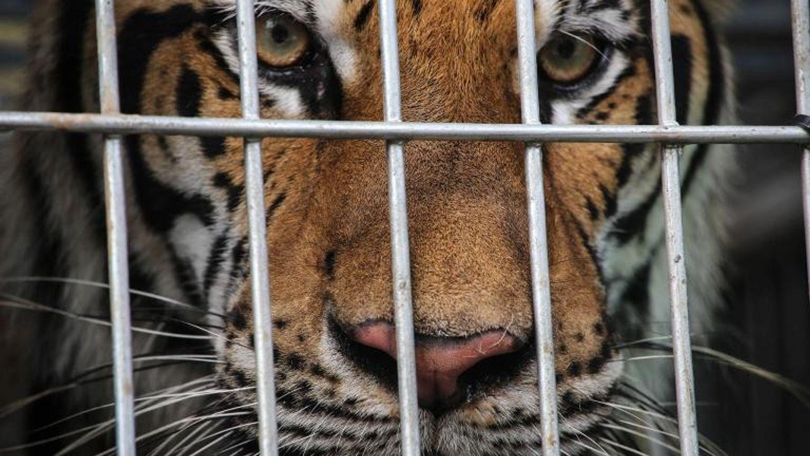 Tigre cautivo