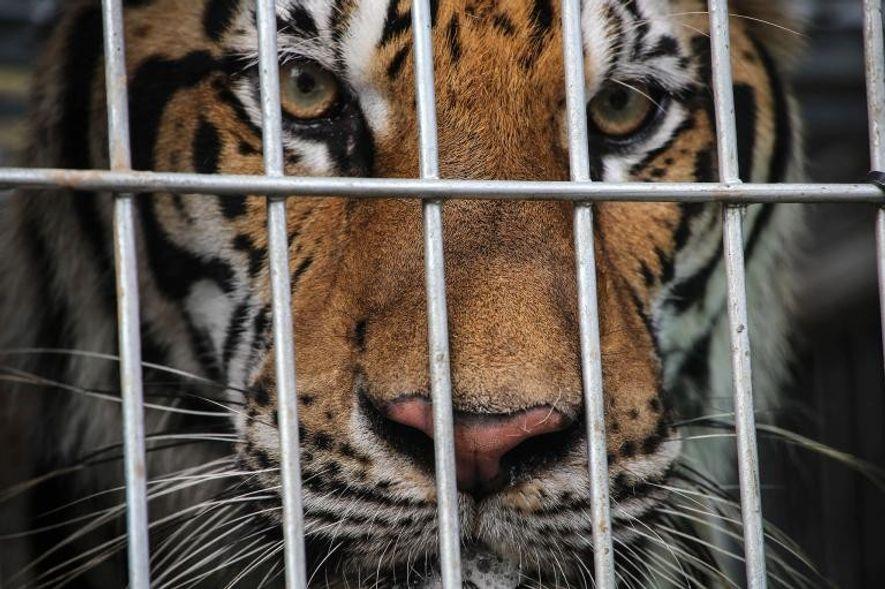 En la naturaleza quedan menos de 4.000 tigres, pero hay más de 8.000 cautivos en centros ...