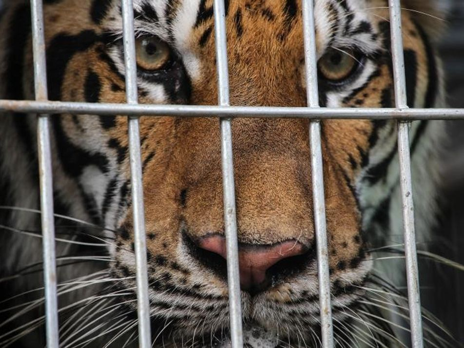 Mueren 86 tigres rescatados de un templo en Tailandia