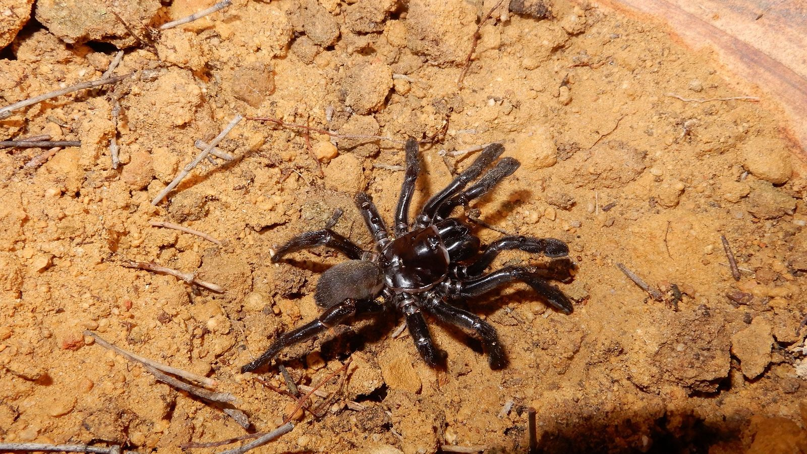 Araña más vieja