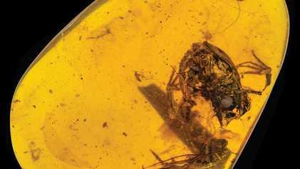 Descubiertas en ámbar ranas de 99 millones de años de antigüedad