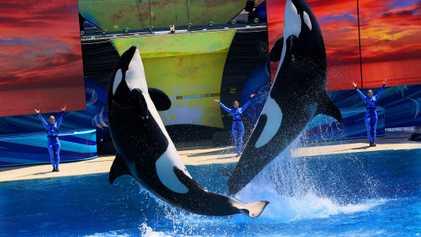 Las orcas no soportan bien la cautividad. ¿Por qué?