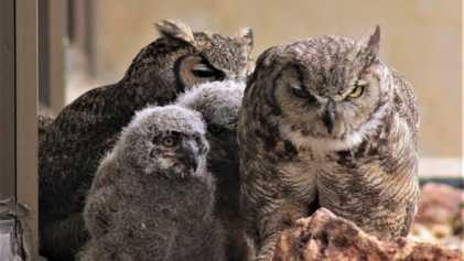 Estos son los primeros polluelos de búho con dos madres y un padre