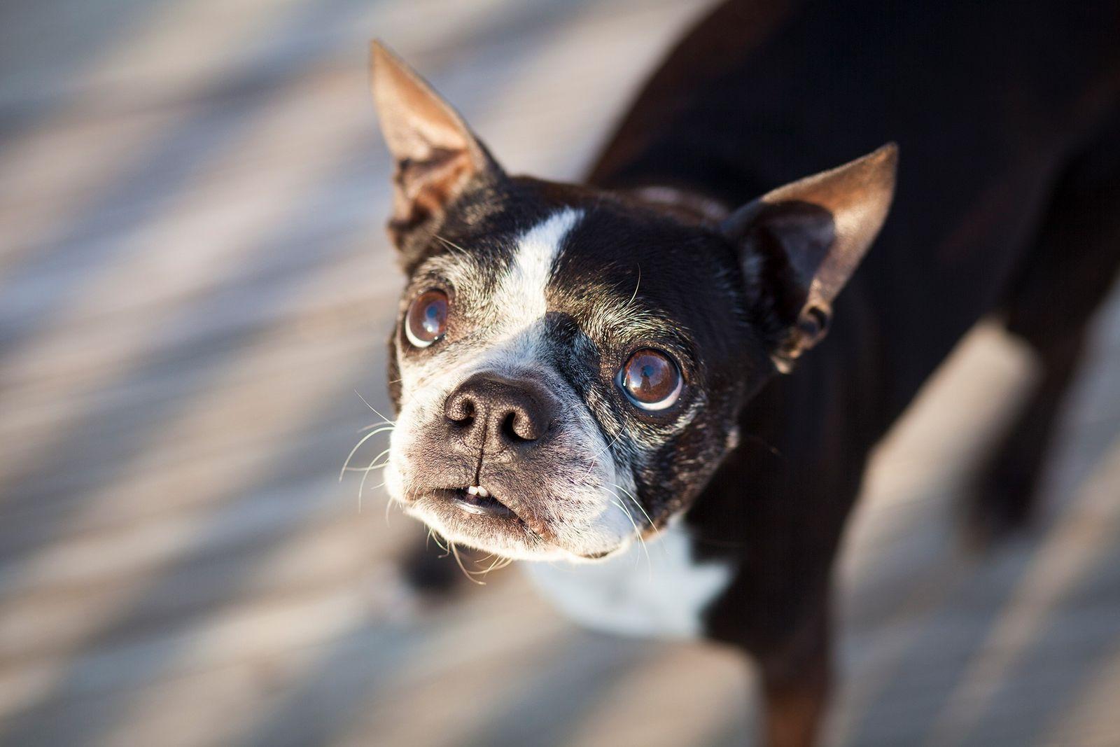 Un viejo boston terrier