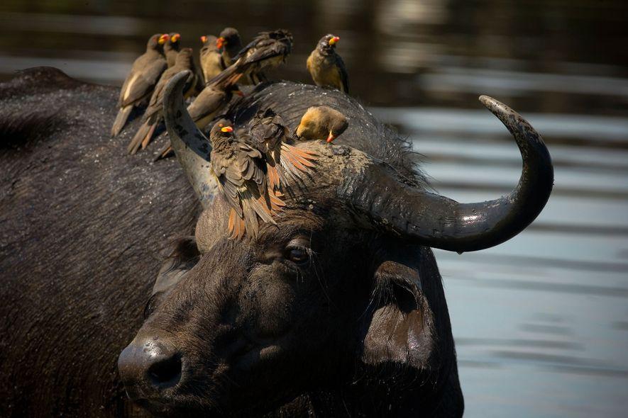 Picabueyes piquigualdos posados en la cabeza de un búfalo de agua.