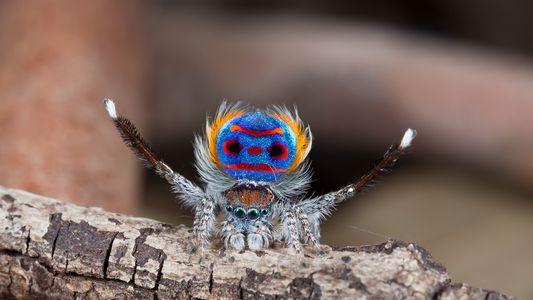 Las arañas pavo real emplean ilusiones ópticas para cortejar a las hembras. ¿Cómo lo hacen?