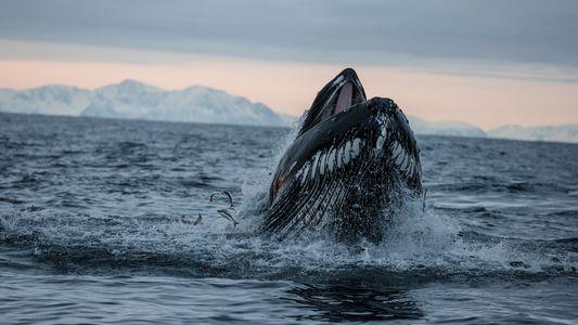 Nuevas fotografías revelan que las ballenas jorobadas utilizan las aletas para cazar salmones