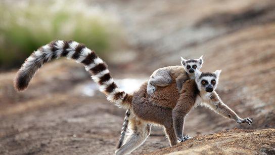 Lémures de cola anillada