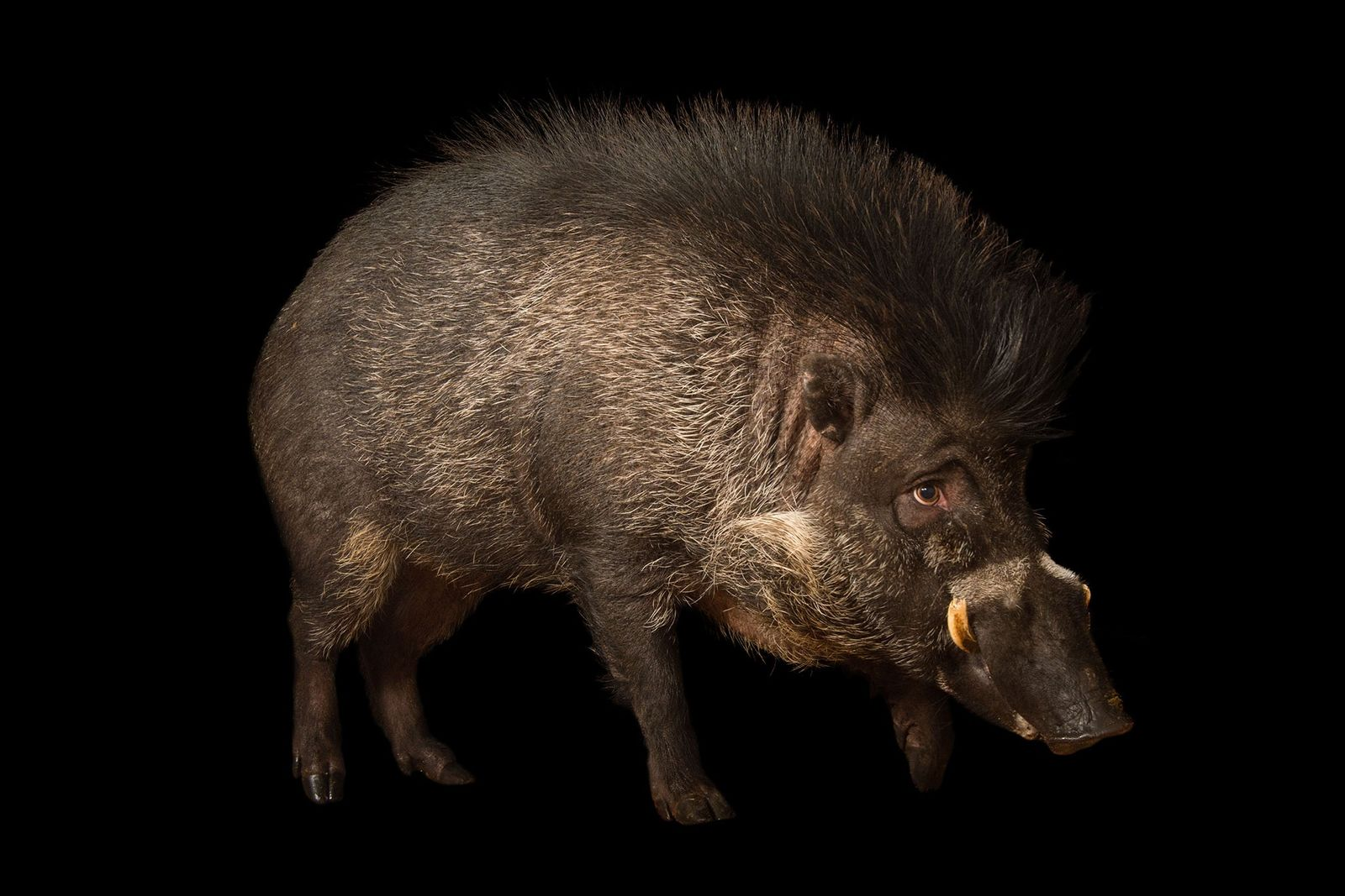 Cerdo verrugoso