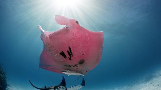 ¿Por qué es de color rosa esta mantarraya?