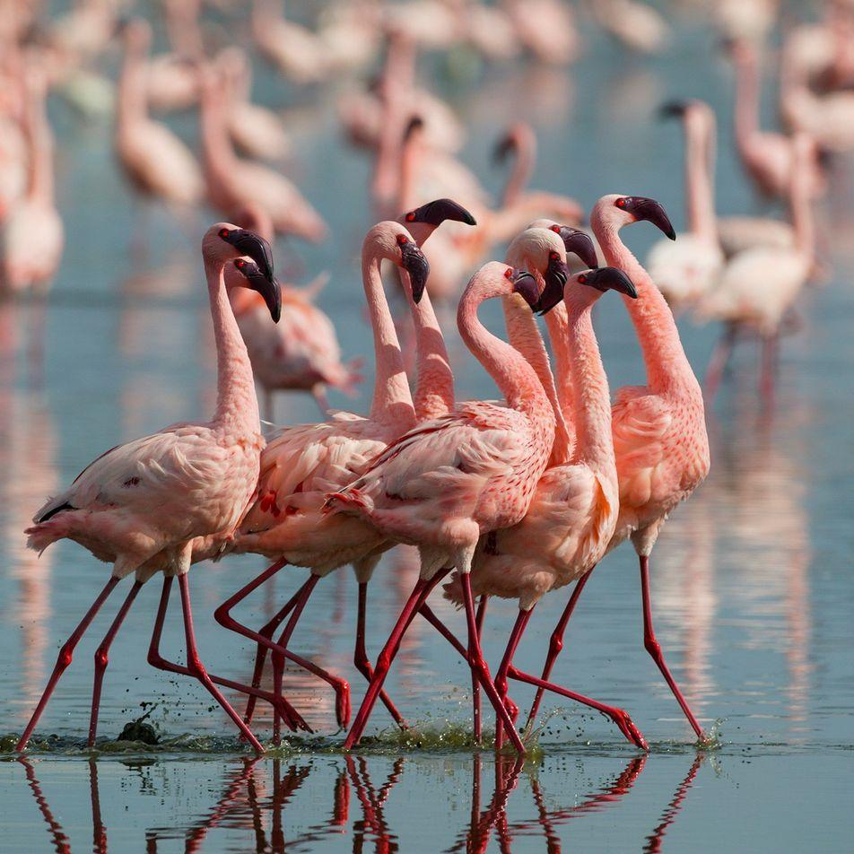 Los flamencos más rosados son más agresivos
