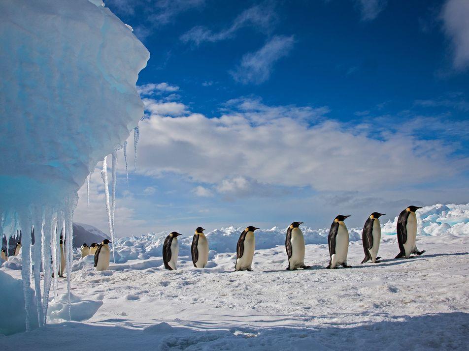 Los pingüinos no viven en el Polo Sur y otros mitos polares desmentidos