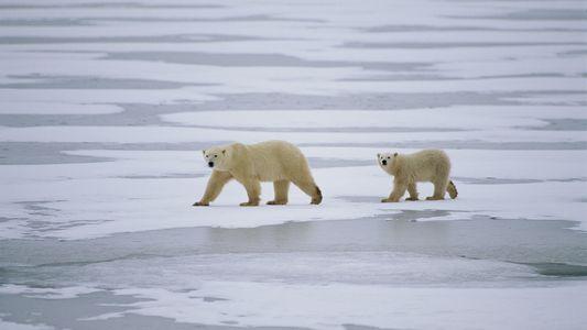 La sorprendente razón por la que los osos polares necesitan hielo marino para sobrevivir