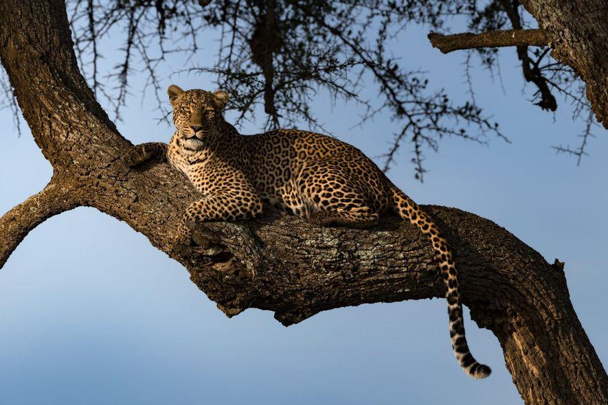 Vinaya Mohan fotografió a este leopardo durante el amanecer en Masái Mara, Kenia.