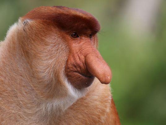 Los monos narigudos con narices más grandes tienen una vida sexual mejor