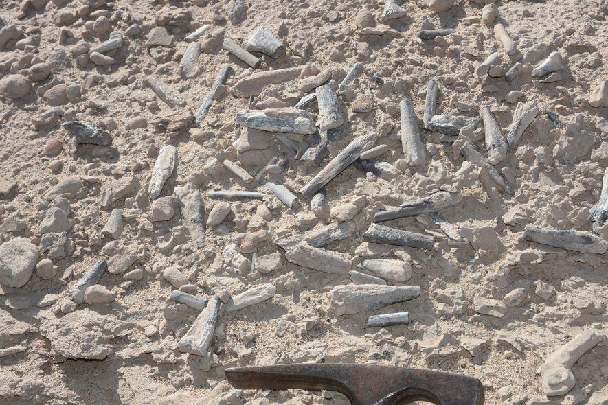 En el yacimiento fósil de Hamipterus, ubicado en la región de Xinjiang, en el noroeste de ...