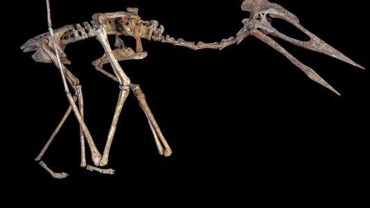 Descubierta en Transilvania una nueva y rara especie de pterosaurio