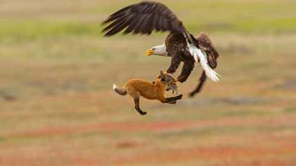Un águila calva le roba la presa a un zorro y sale volando con ambos