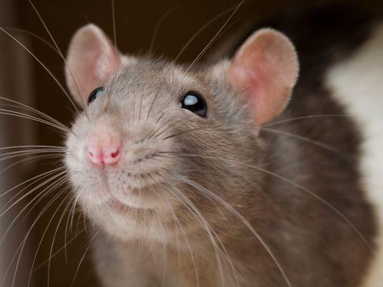 Las ratas evitan hacer daño a otras ratas, un hallazgo que podría ayudarnos a entender la ...