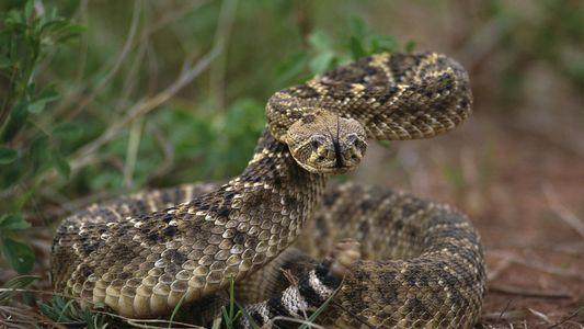 La cabeza de una serpiente decapitada estuvo a punto de matar a este hombre
