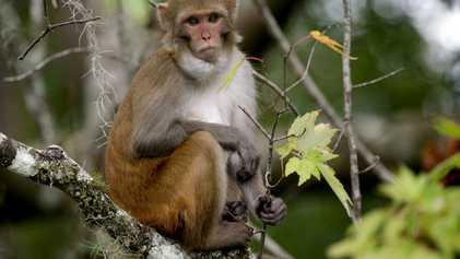 Aumentan los macacos Rhesus en Florida, pero portan un virus letal