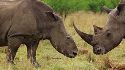 Un nuevo y alarmante informe señala a China como principal mercado negro de cuerno de rinoceronte