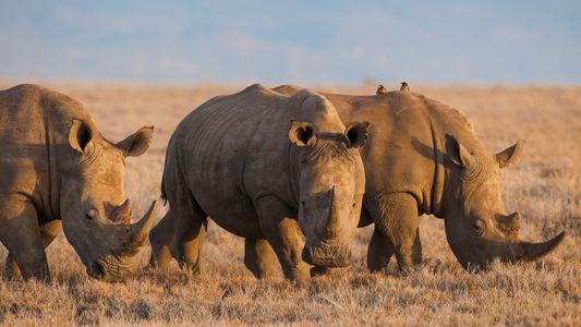 China legaliza el cuerno de rinoceronte y el hueso de tigre con fines médicos