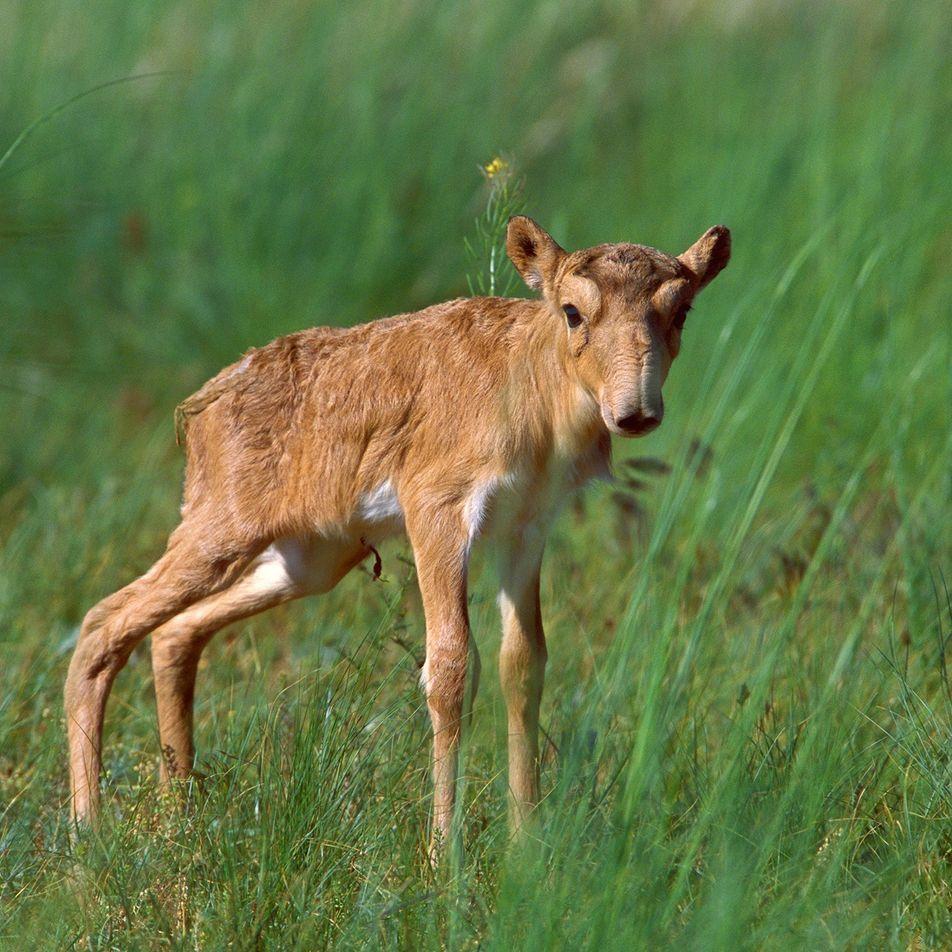 Los saigas experimentan un auge de la natalidad, una buena noticia para esta especie en peligro ...