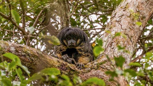 Este misterioso mono amazónico ha sido visto vivo por primera vez en 80 años