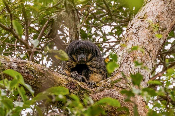 Saki de cara desnuda en un árbol
