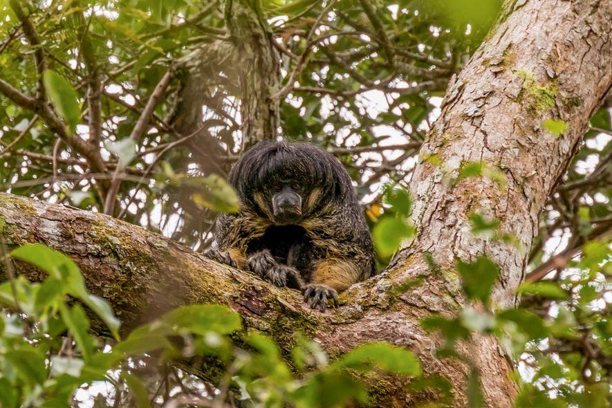 Este Misterioso Mono Amazónico Ha Sido Visto Vivo Por