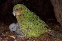 Un kakapo hembra