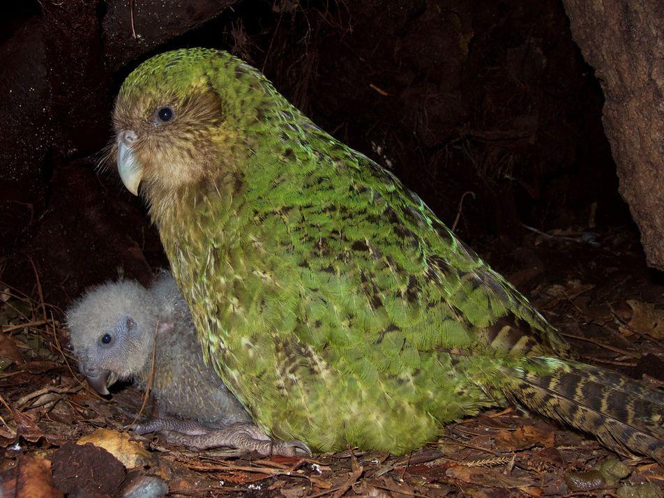 Las soluciones creativas de la ciencia para salvar al kakapo