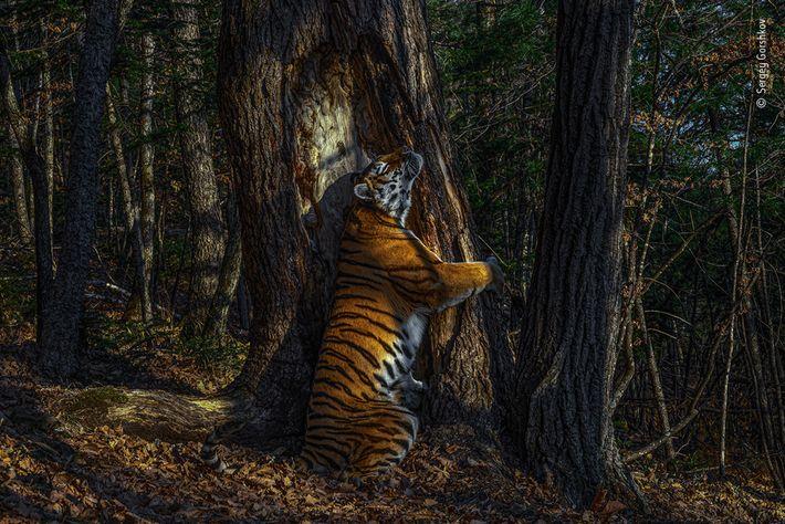 Fotografía de una tigresa siberiana abrazando un árbol