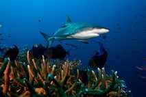 Tiburón de arrecifes