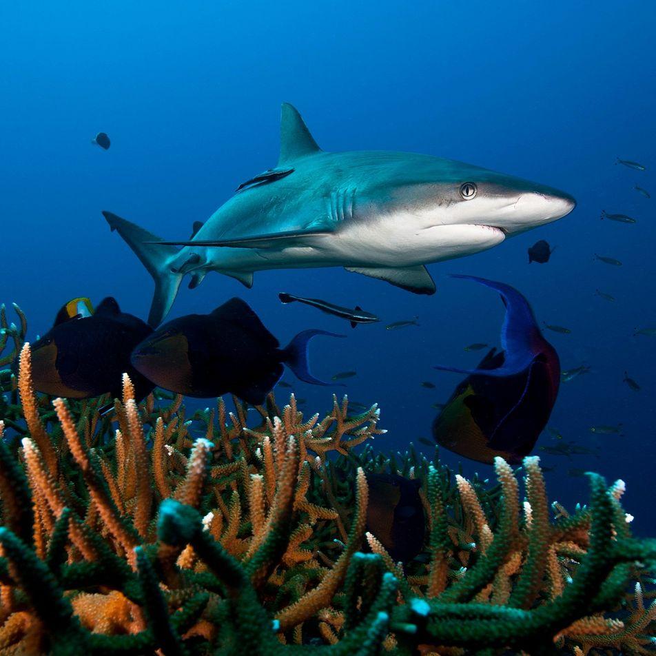 Las poblaciones de tiburones de arrecife están disminuyendo en todo el mundo