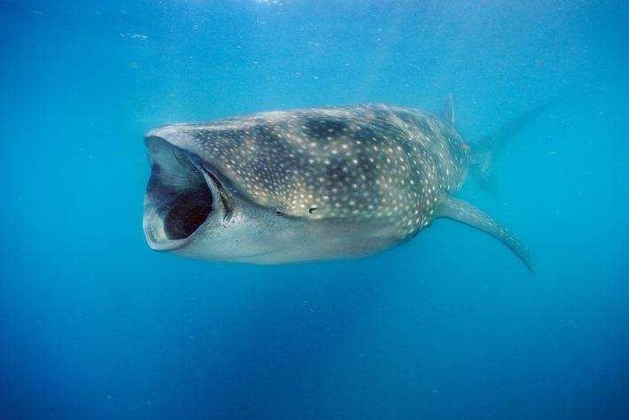 Fotografía de un tiburón ballena