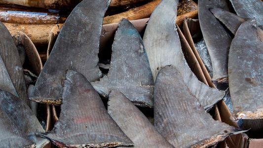 Este dispositivo de análisis del ADN puede identificar las aletas de tiburón ilegales