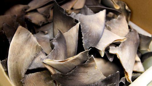 Estados Unidos facilita involuntariamente el contrabando de aletas de tiburón